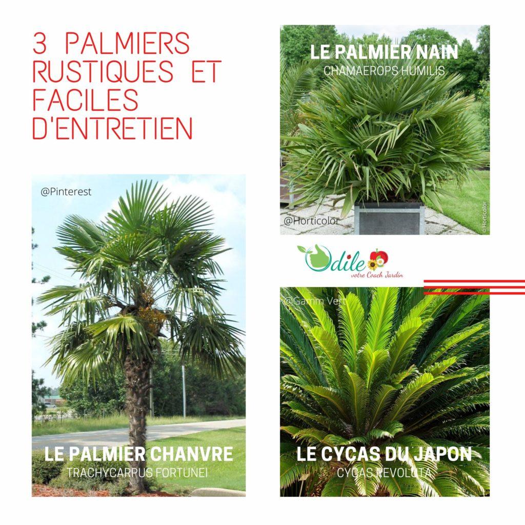 3 palmiers rustiques et faciles d'entretien